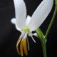 Hesperantha bachmannii (10)