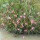 Hesperantha coccinea BULB