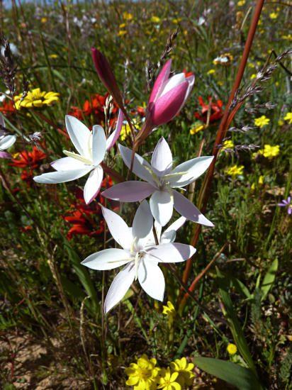 Hesperantha cucullata (5)