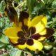 Hesperantha vaginata