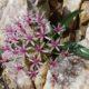 Hessea breviflora SEEDLING