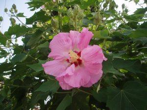 Hibiscus mutabilis versicolor