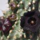 Hoodia pilifera
