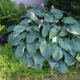 "Hosta ""Something blue"""