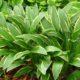 Hosta rectifolia nakai