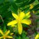 Hypericum canariene