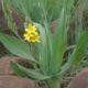 Hypoxis colchichifolia