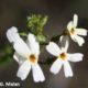 Jamesbrittenia argentea