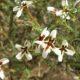 Jamesbrittenia tortuosa