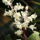 Lachenalia angelica (10)
