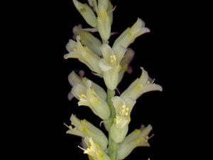 Lachenalia fistulosa (10)