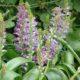 Lachenalia purpureocaerulea