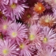 Lampranthus large pink