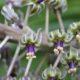 Ledebouria floribunda BULB
