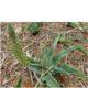 Ledebouria asperifolia BULB