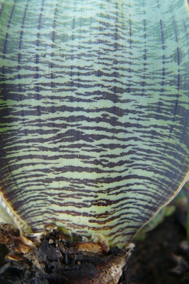 Ledebouria marginata BULB