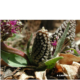 Ledebouria ovatifolia BULB
