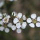 Leptospermum novae-angliae
