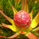 Leucadendron coniferum