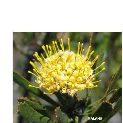 Leucospermum murii