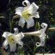 Lilium formosanum var pricei