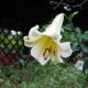 Lilium sulphureum
