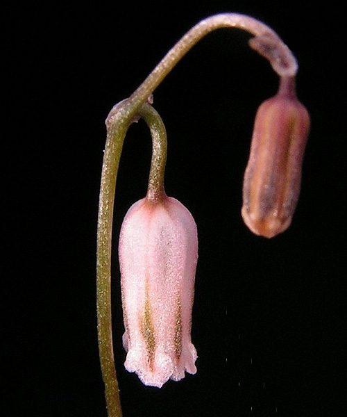 Litanthus pusillus