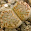 Lithops julii ssp. fulleri C056