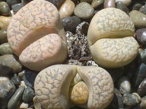 Lithops marmorata var elisae C214