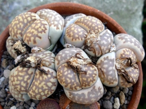 Lithops julii ssp. Fulleri var. Brunnea C179