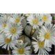 Lithops marmorata C163