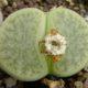 Lithops pseudotruncatella ssp. archerae C104