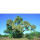 Lonchocarpus capasa