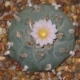 Lophophora williamsii villa arista