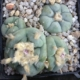 Lophophora williamsii cedral