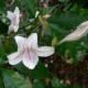 Mackaya bella
