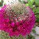 Mammillaria backenbergiana