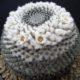 Mammillaria chionocephala