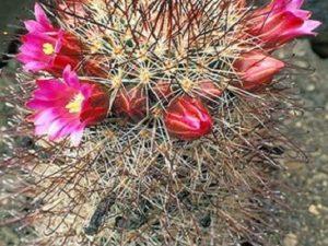 Mammillaria duoformis