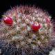 Mammillaria mamiliaris
