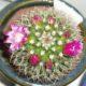 Mammillaria ruestii