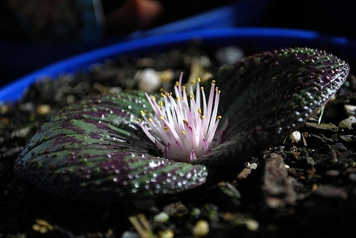 Massonia pustulata PURPLE