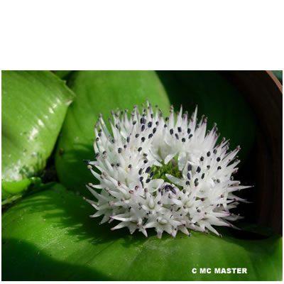 Massonia jasminiflora