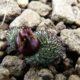 Massonia wittebergensis