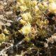 Mesembryanthemum excavatum