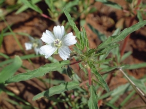 Monsonia angustifolia