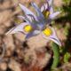 Moraea macrocarpa