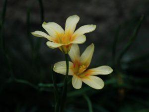 Moraea collina (10)