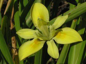 Moraea fugax yellow