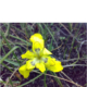 Moraea huttoniae